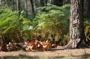 poulets fougères
